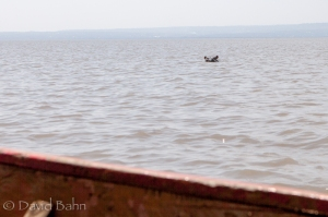 From our boat ride onto Lake Victoria: a hippo in the wild