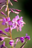 Another fireweed plant from Alaska