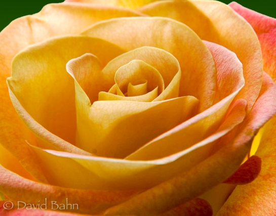 """Yellow Rose"" © 2007 David Bahn www.fbgpbd.smugmug.com"