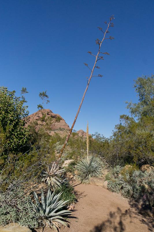 dlb-phoenix-desert-botanical-garden-04768