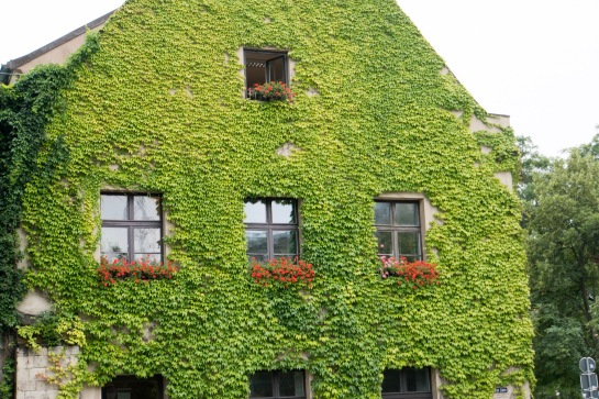 Ivy-covered wall of building next to Magdeburg Cathedral