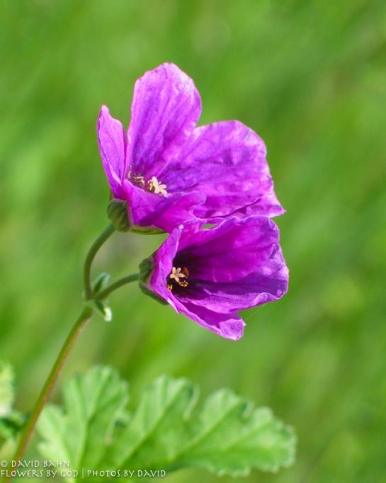 Purple Twin Wildflower-a